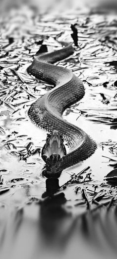 what a great image. my Irish relatives were anti-snake, anti-snake art, anti-snake jewelry.I once played mid-wife to a ball python named Nancy ;) all God's creatures Reptiles And Amphibians, Mammals, Beautiful Creatures, Animals Beautiful, Beautiful Snakes, Photo D Art, Tier Fotos, Belle Photo, Black And White Photography
