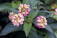 Lantana plants - Characteristics, uses and more:  Lantana attract hummingbirds. Lantana plants are evergreens of the broadleaf variety. Although they may act like vines, they are, technically, shrubs.