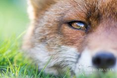 It's time for some much-needed 'Jack' appreciation today, and it's not often you get to see her this close. She has such a trusting bond with me and Alannah that we are allowed to get within a few feet of her and she'll happily curl up and sleep. An amazing fox émoticône smile For those new to the page 'Jack' is a wild urban red fox followed by myself and Alannah Hawker Photography. She is not tame or a pet and we will never seek to interfere at all in her life. We are just here to document…