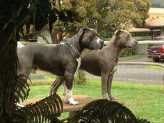 Adult pittbulls
