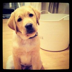 Stormur, my lab when he was little :)