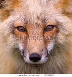 Wild Red Fox San Juan Islands, Foxy - stock photo