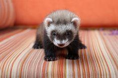 Adorable ferret