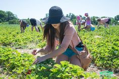 Berry Picking #Ancaster #HamOnt Berry Picking, Berries, Hats, Hat, Berry
