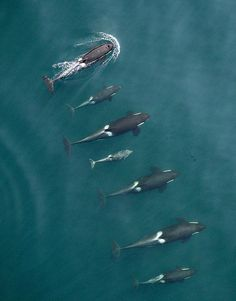 Puget Sound's killer whales looking good-. New drone photo technology is allowing scientists to get a better look at Northern and Southern resident orcas in the Salish Sea. A northern-resident killer-whale family is shown above. Orcas, Beautiful Creatures, Animals Beautiful, Majestic Animals, Water Animals, Underwater Life, Ocean Creatures, Tier Fotos, Killer Whales