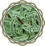 OnycoSolve Salvia Officinalis, First Names, Text Messages, Nail Care, Cauliflowers, Short Hair, Nighty Night, Get Lean, Party