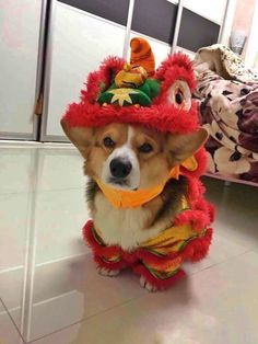 Chubby the Corgi from China, what is he wearing??