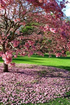 Mass of pink blossoms on tree in the Coffs Harbour Botanical Park, New South Wales Beautiful Gardens, Beautiful Flowers, Beautiful Places, Spring Nature, Outdoor Plants, Outdoor Spaces, Landscaping Plants, Flowering Trees, Garden Planning