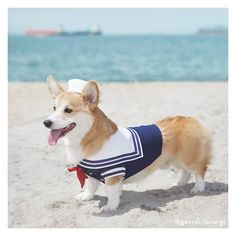 All About Playfull Pembroke Welsh Corgi Puppies And Kids Corgi Costume, Pet Costumes, Halloween Costumes, Dog Halloween, Couple Halloween, Costume Ideas, Pembroke Welsh Corgi Puppies, Corgi Dog, Corgi Pictures