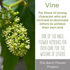 Bach Flower Remedy - VINE