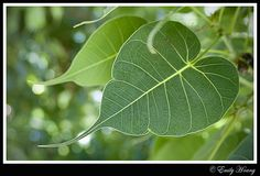 I thought I would share with you the story and significance of the bodhi leaf. It is a common element in Thai spiritual artwork, an. Tree Leaves, Plant Leaves, Bodhi Tree Tattoo, History Of Buddhism, Bodhi Leaf, Buddha Tattoos, Garden Entrance, Growing Tree, Ficus