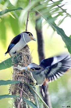 (Explored) Building Nest | Flickr - Photo Sharing!Male and Female Silver Breasted Broadbill