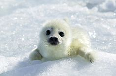 Harp Seal (Phoca groenlandicus) pup, Magdalen Islands, Gulf of Saint Lawrence, Canada Harp Seal Pup, Baby Harp Seal, Baby Seal, Cute Funny Animals, Cute Baby Animals, Save Animals, Animals And Pets, Sea Lions, Arctic Animals