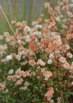 Specializing in rare and unusual annual and perennial plants, including cottage garden heirlooms and hard to find California native wildflowers. Brown Flowers, Cut Flowers, Buckwheat Flower, Front Yard Plants, California Native Plants, Dry Garden, Cool Plants, Flower Wallpaper, Perennials