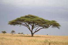 Acacia Tree, Serengeti
