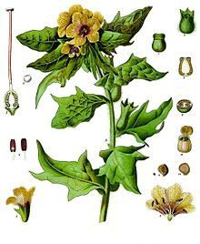 Hyoscyamus niger - Henbane is a poisonous plant in the family Solanaceae that originated in Eurasia, though it is now globally distributed.[1]