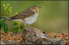Swainson's or Olive-backed Thrush - Canada, Alaska & N. USA