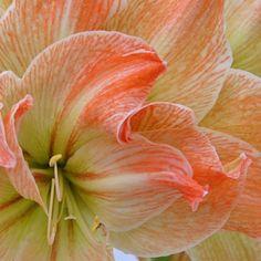 Amaryllis 'Exotic Nymph' - helles Grün und leuchtendes Apricot machen die Blüten dieser Amaryllis zu einem echten Hingucker - Die Zwiebeln kommen ab November in die Pflanzgefäße und blühen dann als Zimmerpflanze mitten im Winter - online erhältlich bei www.fluwel.de