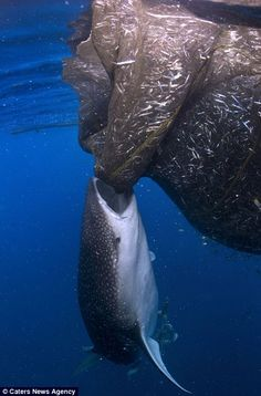 Whale shark stealing fish out of fisherman's bulging net - http://www.dailymail.co.uk/news/article-2316605/Sneaky-whale-shark-caught-trying-bite-fishermans-bulging-net.html