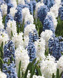 delfts blue hyacinth blend