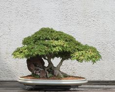 Impressive Japanese Garden With Bonsai Tree