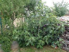 Jak si doma vypěstovat fíky - nelenprozelen.cz Garden, Plants, Image, Garten, Lawn And Garden, Gardens, Plant, Gardening, Outdoor