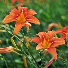 How to divide and transplant daylilies or prune and cut them back, Complete guide to digging up daylilies and moving them to a new location. Flower Garden, Flowers Perennials, Plants, Foliage, Daylilies, Arboretum, Growing, Perennials, Flowers