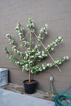 espalier...Training/trimming trees to grow across flat surfaces.....garden walls, fences, garage...etc.     http://en.wikipedia.org/wiki/Espalier