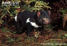 Sarcophilus harrisi (ďábel medvědovitý, Dasyuridae)
