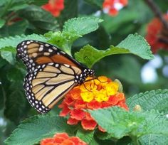 Good Tips on Raising Monarchs