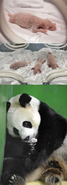 What's better than one baby panda? Three baby pandas that all have the same birthday!