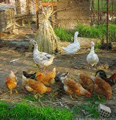 Types Breeds For Your Poultry Business Types Of Poultry, Poultry Business, Poultry Supplies, Chicken Breeds, Bird, Breeds Of Chickens, Raising Chickens, Birds