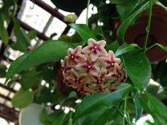 Hoya rubida