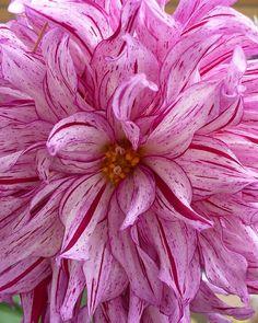 Pink Striped Dahlia