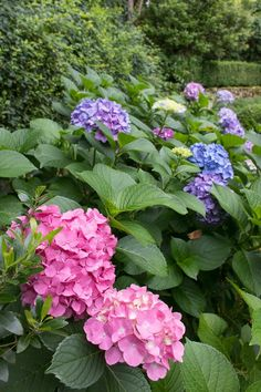 You+DON'T+want+to+prune+this+type+of+hydrangea+(mopheads)+in+the+fall!+This+post+tells+you+why+and+gives+you+tips+on+how+much+and+when+to+prune!