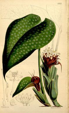 v.88 [ser.3:v.18] (1862) - Curtis's botanical magazine. - Biodiversity Heritage Library