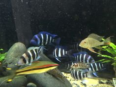 Beautiful Fish, Beautiful Horses, Aquarium Fish For Sale, Freshwater Aquarium Fish, Fish Ponds, Cichlids, Fresh Water, Tanks, Animals