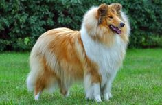 About Collie Dog | Collie Breed History, Info & Pictures - Pet360 Pet Parenting Simplified. This is a beautiful example of a Rough Collie, one of my favorite breeds.