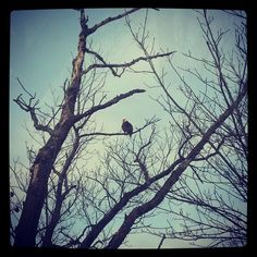 Beautiful bald eagle watching over the Delaware River in Matamoras, PA