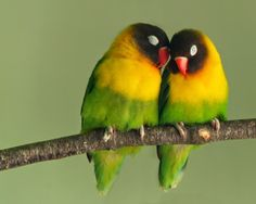 pictures of lovebirds  http://telatnews.blogspot.com/2014/08/pictures-of-lovebirds.html