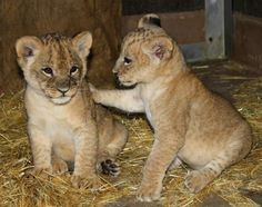 An adorable lion cub checks in with his brother at Omaha's Henry Doorly Zoo and Aquarium in Omaha, Neb. Big Cats, Cute Cats, Omaha Zoo, The Lion Sleeps Tonight, Lion Cub, Leo Lion, Husky, Lovely Creatures, Cute Baby Animals