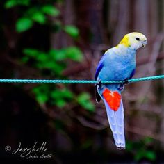 This Pale Headed Rosella is hanging out for a good time #thisisqueensland by @jaxybelle