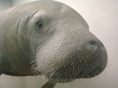 Alabama State Marine Mammal - West Indian Manatee