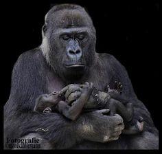 Momma gorilla