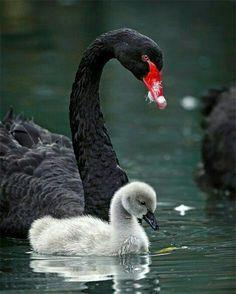 Black swan and her cygnet ❤️