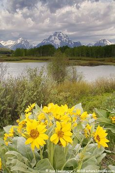 Arrowleaf Balsamroot bloom at Oxbow Bend with Mt. Moran in background, Grand Teton National Park, Wyoming | Ron Niebrugge via WildNatureImages