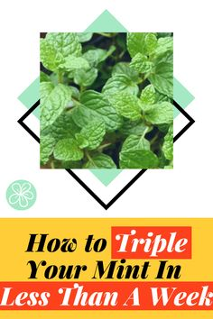 Learn how I tripled my mint in less than a week with this simple gardening tactic! No chemical fertilizer, nothing complicated, just some water. Follow The Blossoming Gardener on Instagram @/theblossominggardener! #theblossominggardener #gardenblog #blog #gardening #growyourownfood #plants #gardeningforbeginners #mint #growingmint #growingherbs #propagatingmint #herbgarden #balconygarden