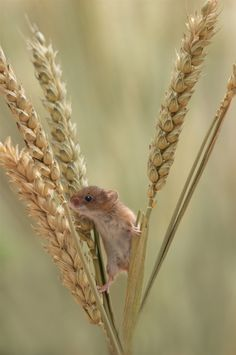 Mouse on wheat