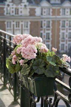 Parisian Balcony. Those double ruffle pink geraniums are gorgeous!
