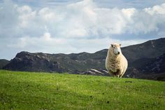 According to Statistics New Zealand's agricultural production statistics, there were an estimated 31.1 million sheep at 30 June 2011. This means that the sheep-to-person ratio is over seven sheep per person :)
